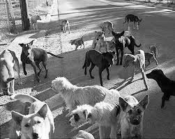 Pack of dogs BW